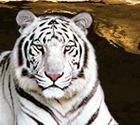 About the White Tiger Icon